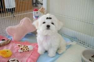 How To Stop Maltese Dog Barking