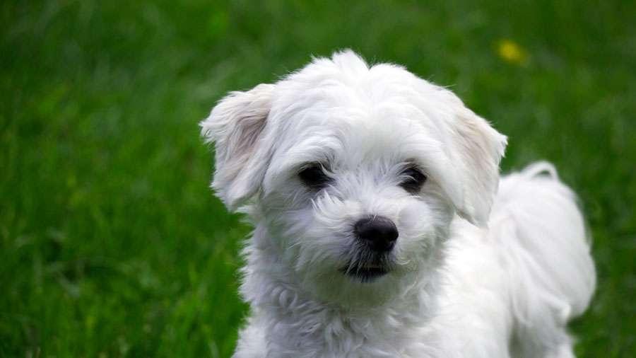 Maltese Dog Training Tips
