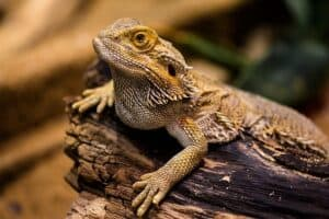 can you sleep with a bearded dragon