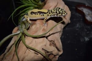 comparison between a beareded dragon and a leopard gecko