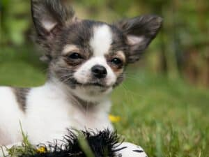 Do Chihuahuas have anger issues