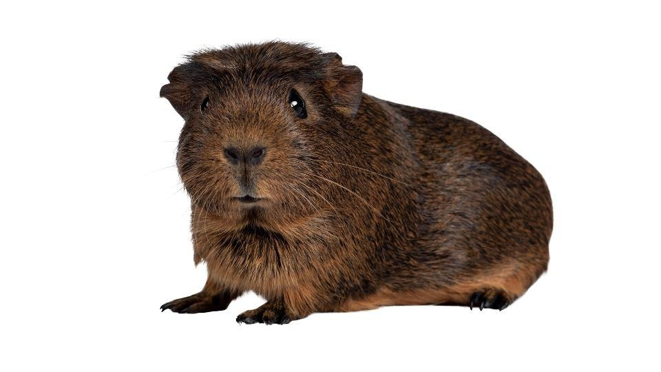 guinea pig shivering