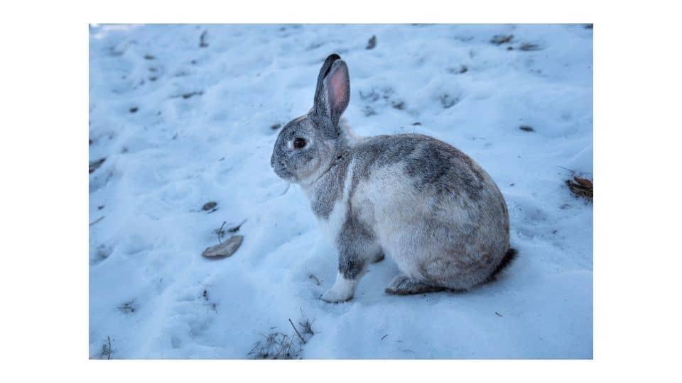 rabbit it cold temperature