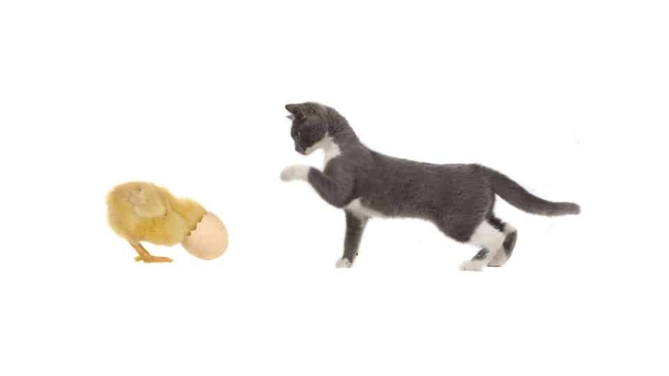 can cats attack chickens