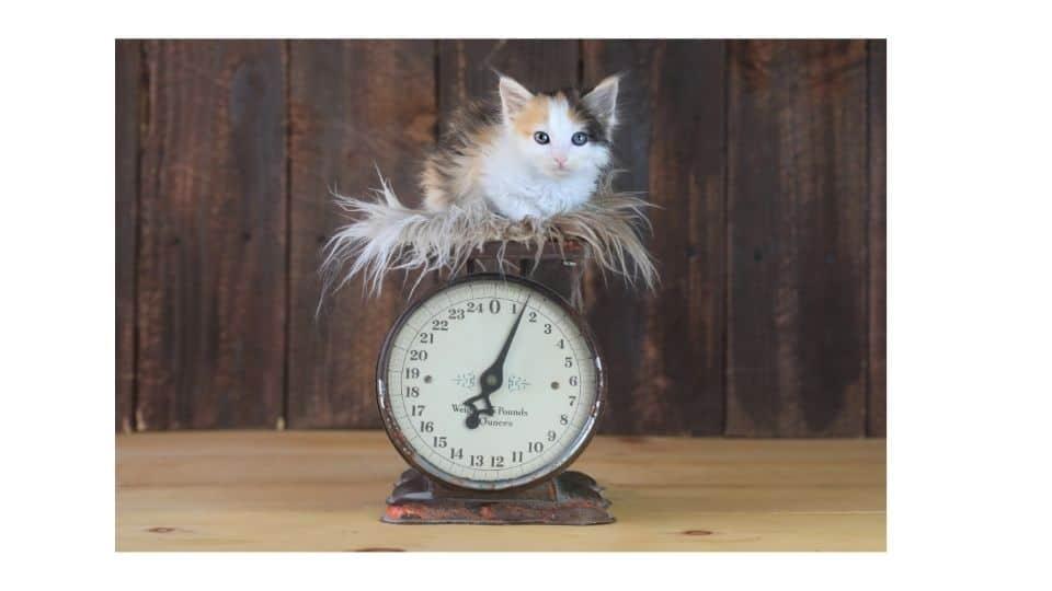 kitten weight guide