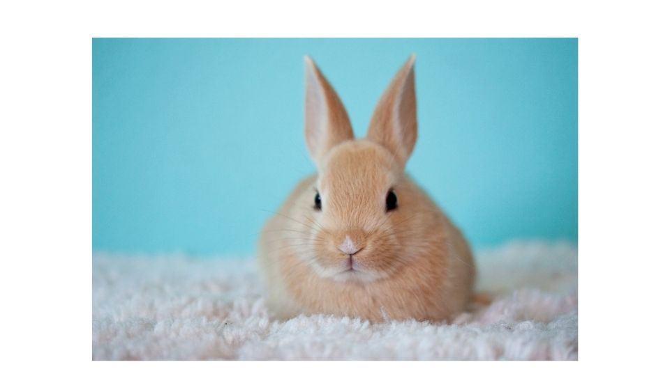 rabbit starring