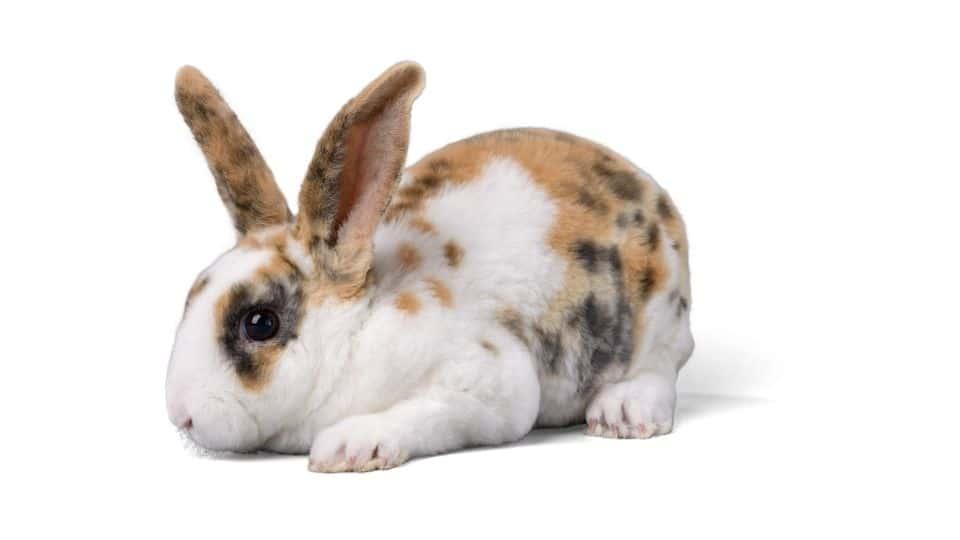 rabbit noise
