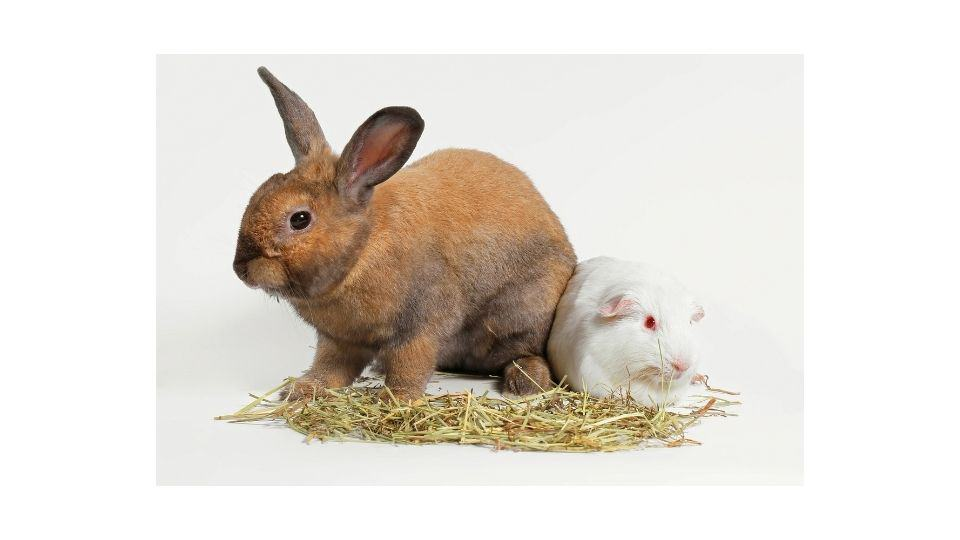 can guinea pigs live with rabbits