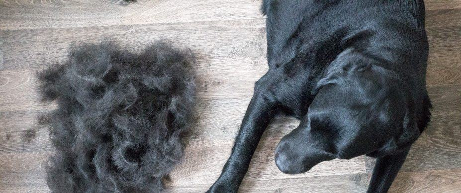 Dog Shedding And Allergies