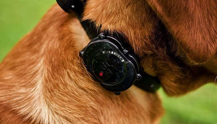 Dog wearing Vibration Collar