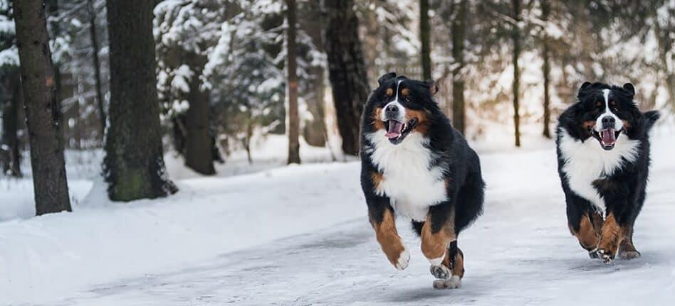 Exercise of bernese mountain dog