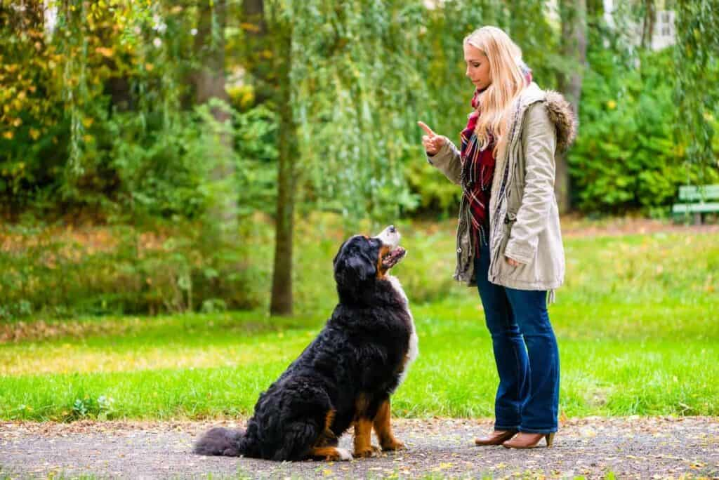 Training of bernese mountain dog
