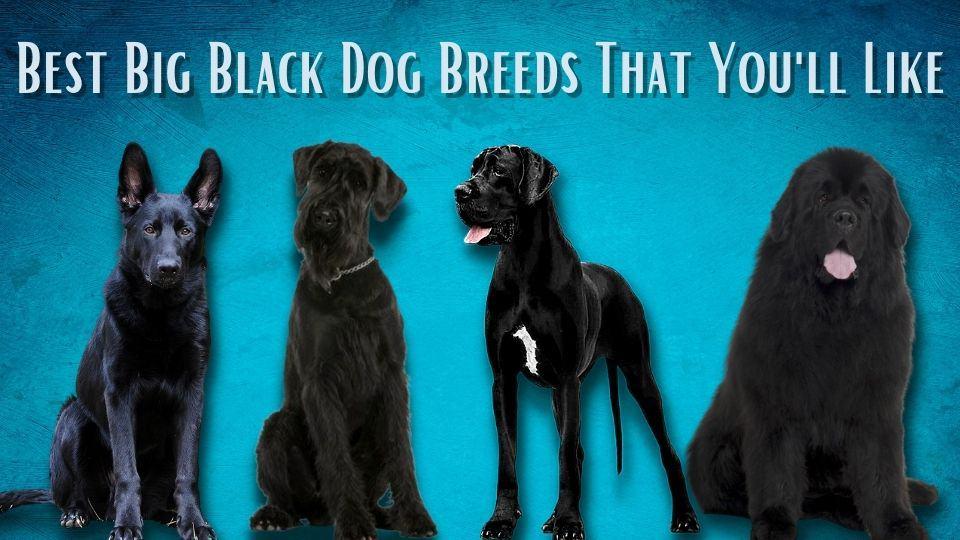 big black dog breeds